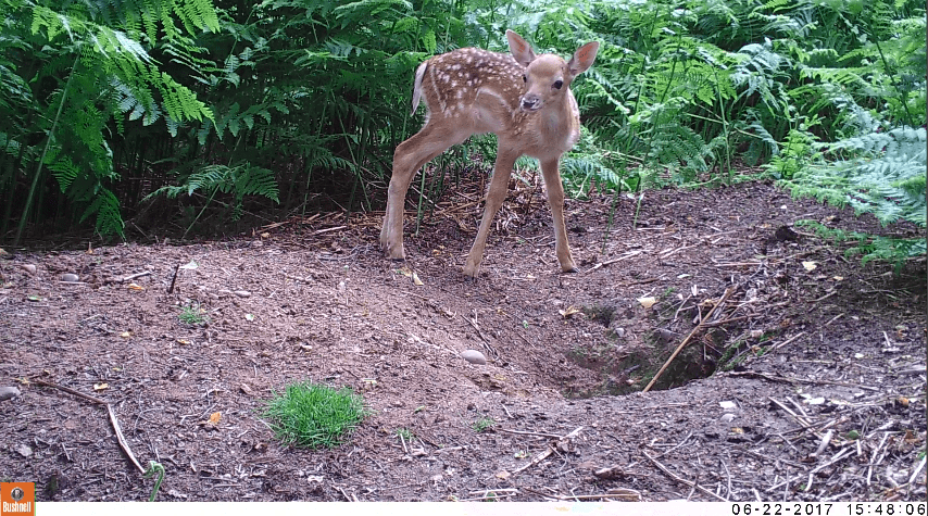 This season fawns are coming onto Silver Trees Holiday Park