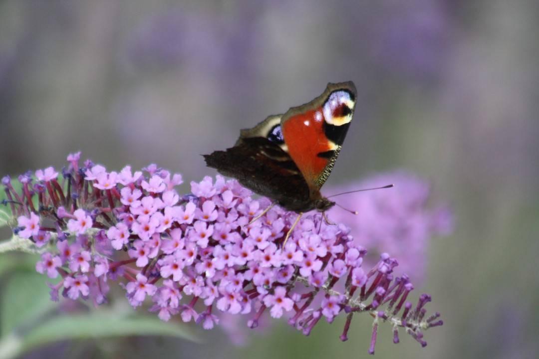 peacock-in-butterfly-garden-custom